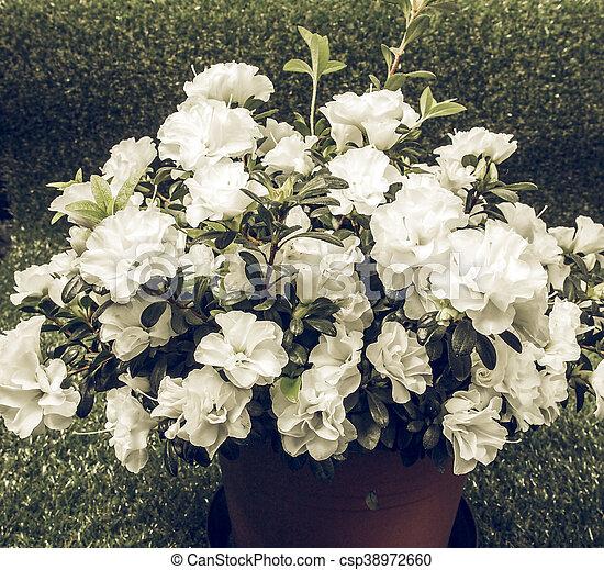 White azalea flower vintage faded vintage faded white azalea white azalea flower vintage faded csp38972660 mightylinksfo
