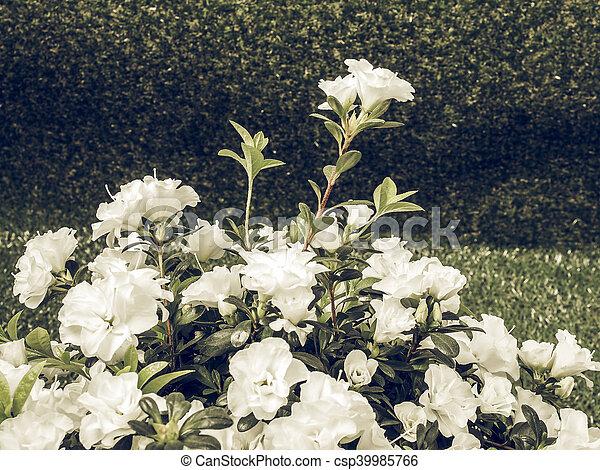 White azalea flower vintage faded vintage faded white azalea white azalea flower vintage faded csp39985766 mightylinksfo