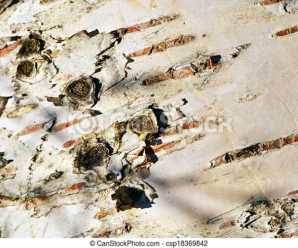white birch bark - csp18369842