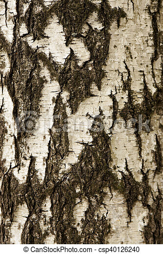 White birch bark texture - csp40126240