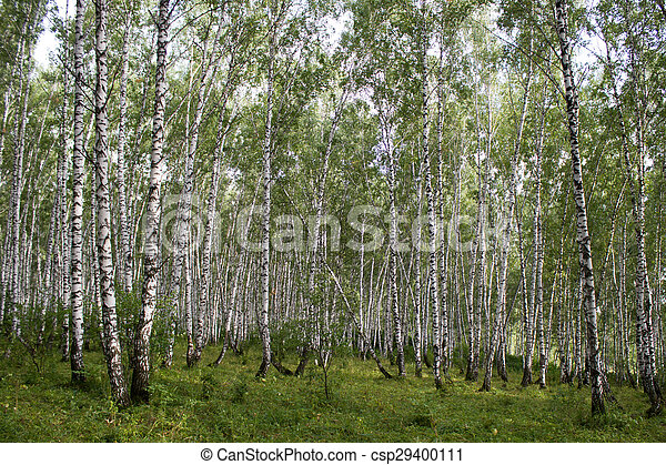 White birch trees in the forest in summer - csp29400111