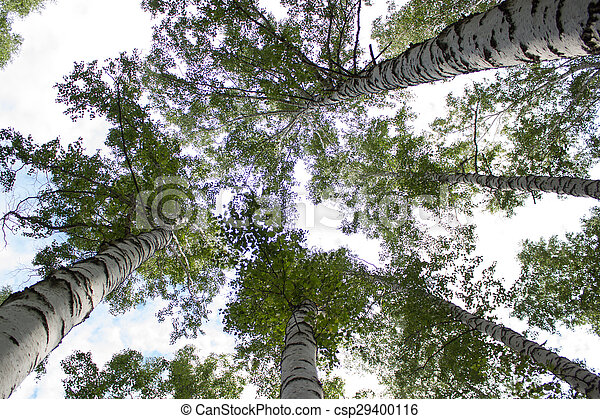 White birch trees in the forest in summer - csp29400116