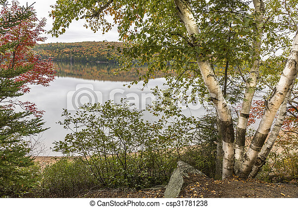 White Birches Next to a Lake in Autumn - Algonquin Provincial Park, Ontario, Canada - csp31781238