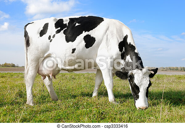 White black milch cow on green grass pasture - csp3333416
