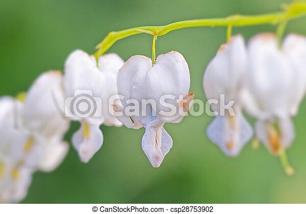 White Bleeding Heart Flowers Closeup Sweden