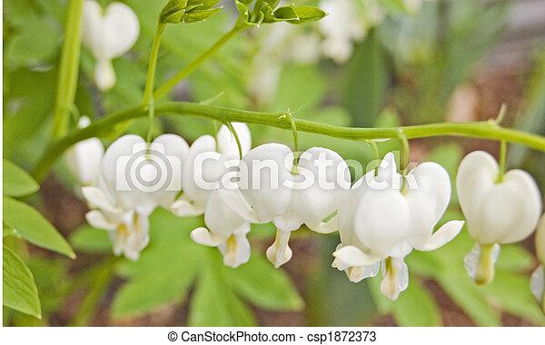 White Bleeding Heart Flowers Beautiful And Simple White Bleeding