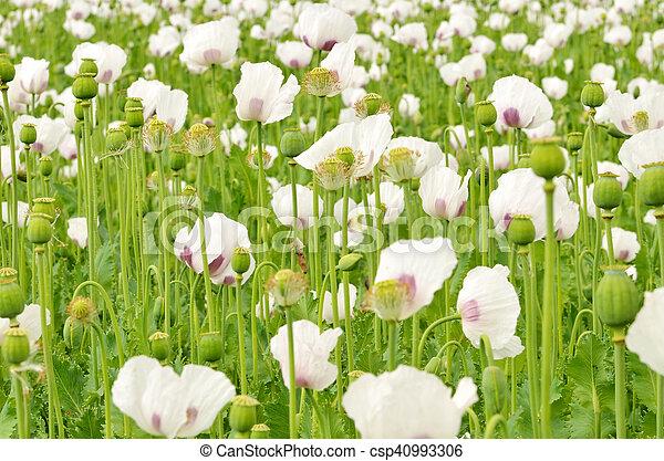 White blooming poppy field - csp40993306