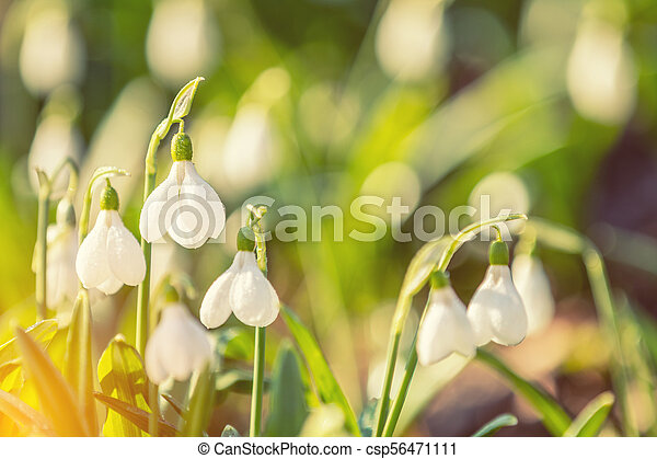 White blooming snowdrop folded or Galanthus plicatus with water drops. - csp56471111