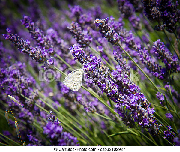 White butterfly on lavender - csp32102927
