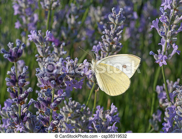 white butterfly on lavender - csp38319532