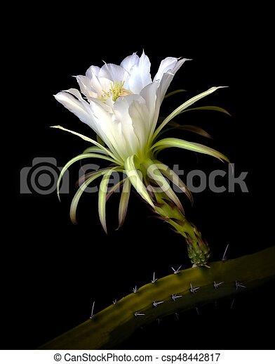 White cactus flower against black background white flower or white cactus flower against black background csp48442817 mightylinksfo