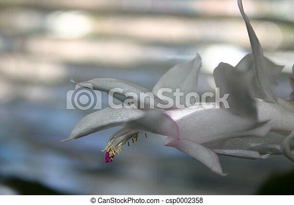 White Cactus Flower - csp0002358
