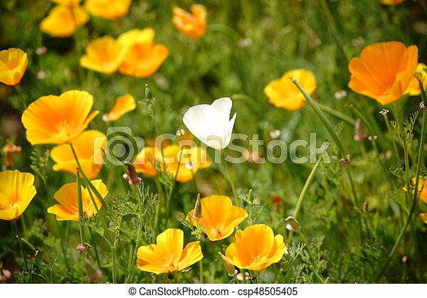White california poppy flower the top view of a garden bed with a white california poppy flower csp48505405 mightylinksfo