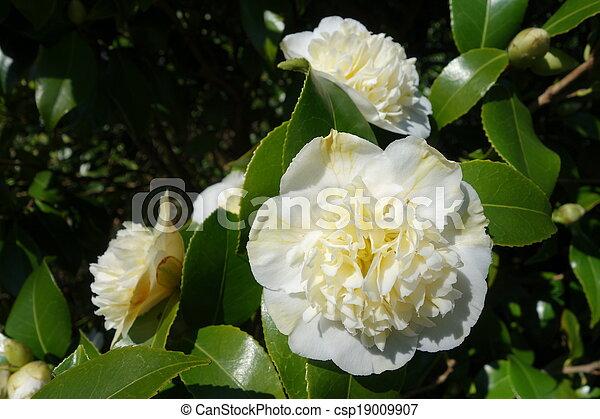 White camellia flowers white camellia flowers with glossy green white camellia flowers csp19009907 mightylinksfo