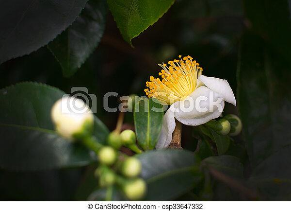 White camellia flowers white camellia flower closeup with stock white camellia flowers csp33647332 mightylinksfo