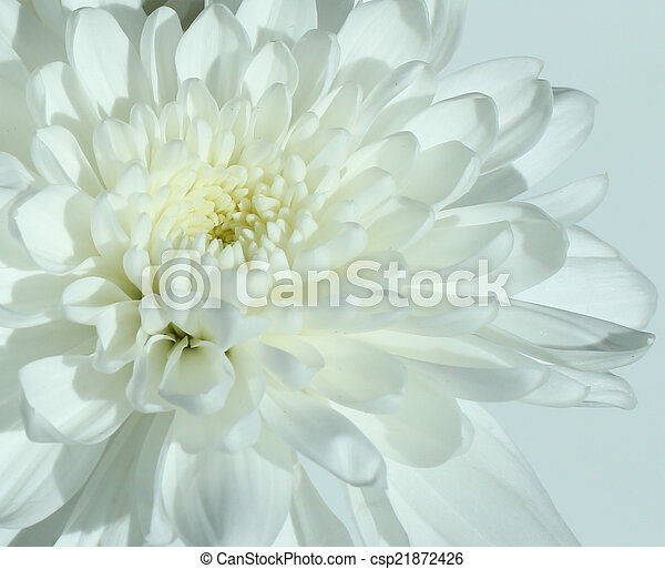 Nature white carnation flower in close up white carnation flower csp21872426 mightylinksfo