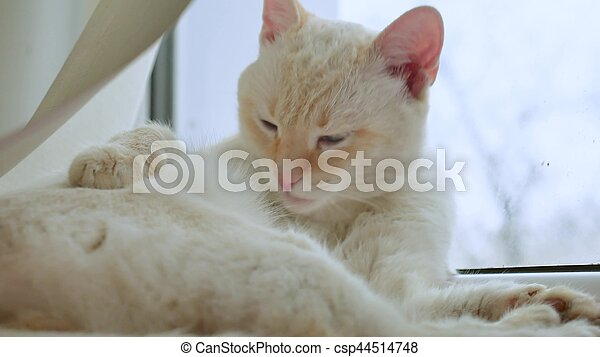 white cat licks clean hair, lying on windowsill at the window, a pet
