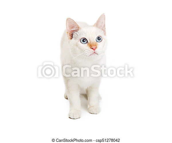 White Cat With Blue Eyes Looking Up - csp51278042