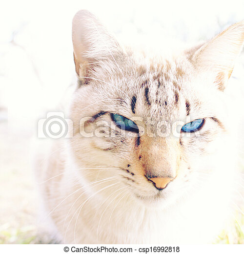 White cat with blue eyes - csp16992818