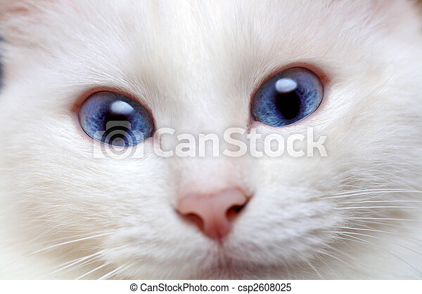 white cat with blue eyes - csp2608025