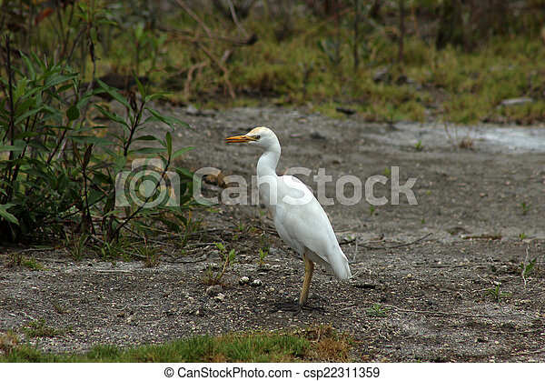 White Cattle Egret in a Meadow - csp22311359