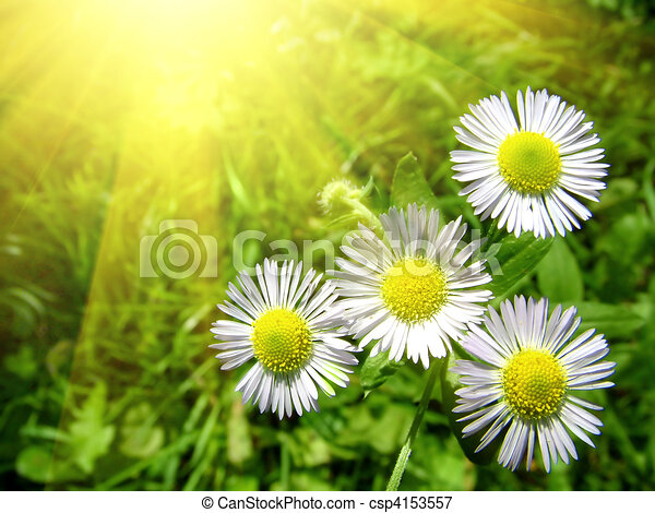 white chamomiles with green grass - csp4153557