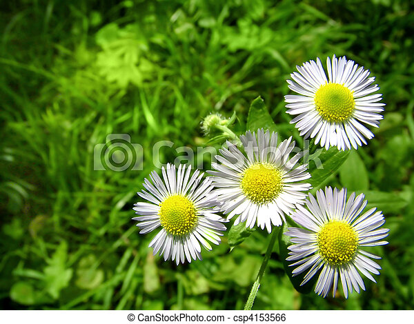 white chamomiles with green grass - csp4153566