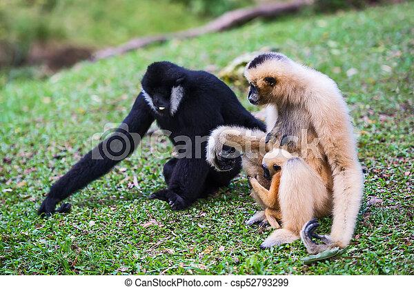 White cheek gibbon. - csp52793299