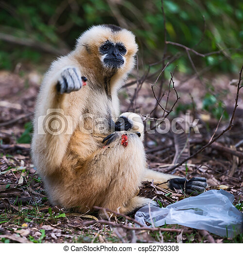 White cheek gibbon. - csp52793308
