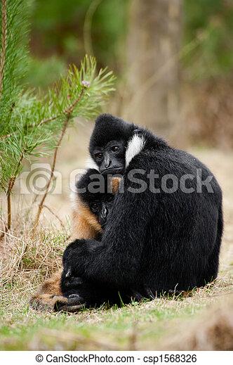 White-cheeked gibbon (Nomascus leucogenys) - csp1568326