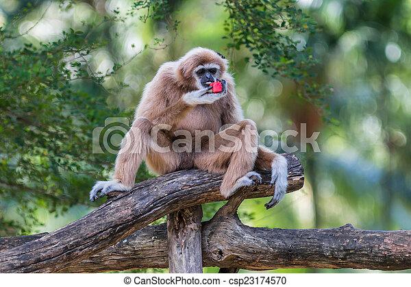 White Cheeked Gibbon or Lar Gibbon  - csp23174570