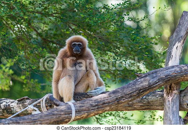 White Cheeked Gibbon or Lar Gibbon  - csp23184119