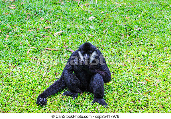 White cheeked gibbon or Lar gibbon  - csp25417976