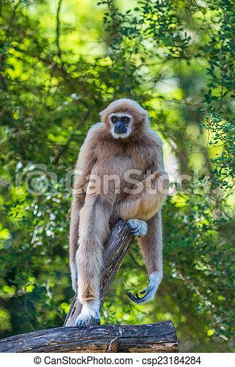 White Cheeked Gibbon or Lar Gibbon  - csp23184284