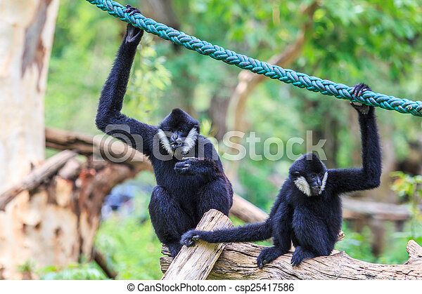 White cheeked gibbon or Lar gibbon  - csp25417586