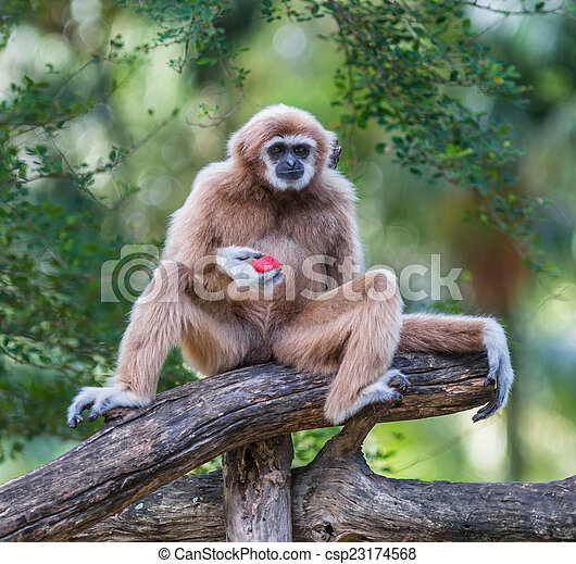White Cheeked Gibbon or Lar Gibbon  - csp23174568