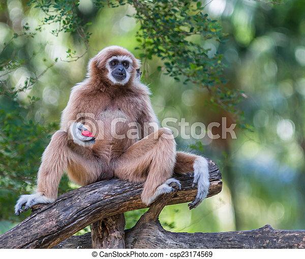 White Cheeked Gibbon or Lar Gibbon  - csp23174569