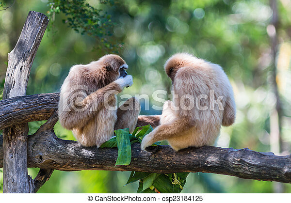 White Cheeked Gibbon or Lar Gibbon  - csp23184125