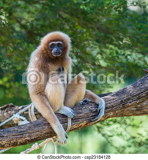 White Cheeked Gibbon or Lar Gibbon  - csp23184128