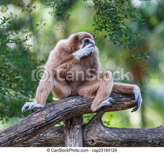 White Cheeked Gibbon or Lar Gibbon  - csp23184129