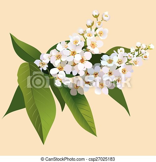 White cherries flowers with leaves and bud. Bunch of blossoming cherries flower - csp27025183