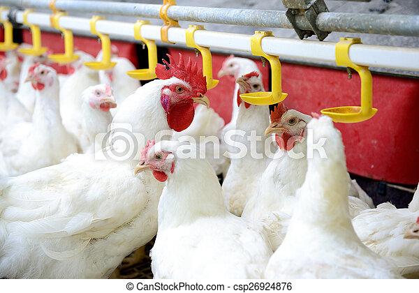 White Chickens Farm Modern Chicken Production Of Meat