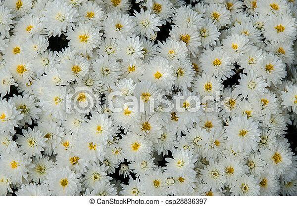 White Chrysanthemum Background White Chrysanthemum Flowers