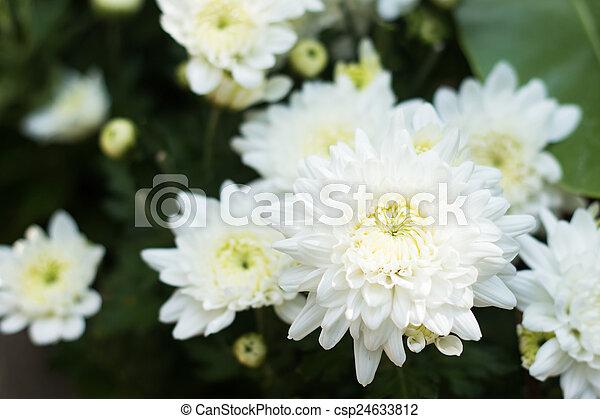 White chrysanthemum flower white chrysanthemum flower csp24633812 mightylinksfo