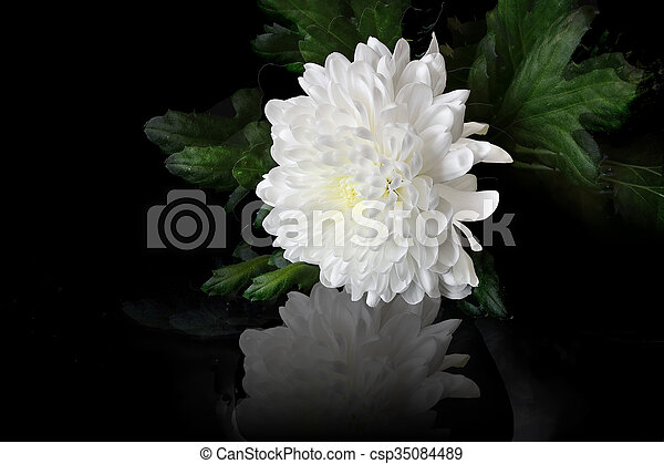 White chrysanthemum flower beautiful white chrysanthemum flower white chrysanthemum flower csp35084489 mightylinksfo
