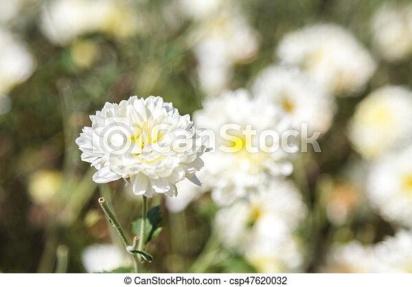 White chrysanthemum flower white chrysanthemum flower type species white chrysanthemum flower csp47620032 mightylinksfo