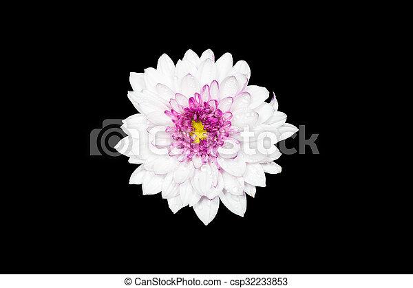 White chrysanthemum flower with yellow center isolated on black white chrysanthemum flower with yellow center isolated on black background csp32233853 mightylinksfo