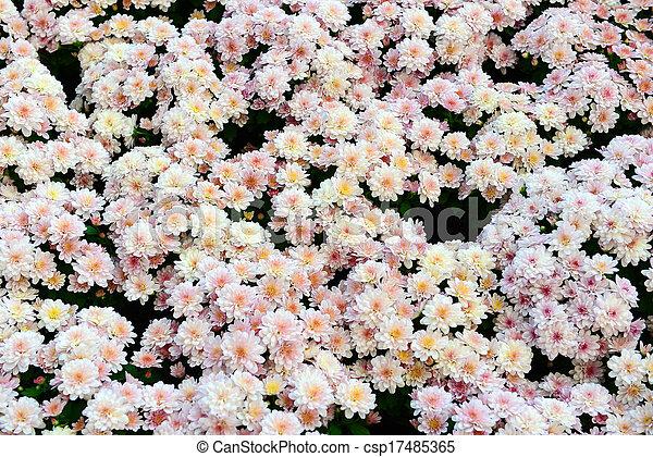White Chrysanthemum - csp17485365