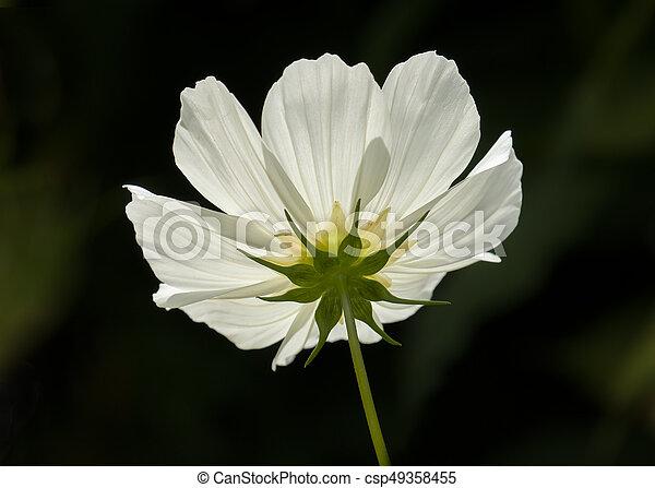 White Cosmos Flower Underside Of White Cosmos Flower Backlit By Sun