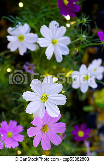 White Cosmos Flowers Close Up With Bokeh